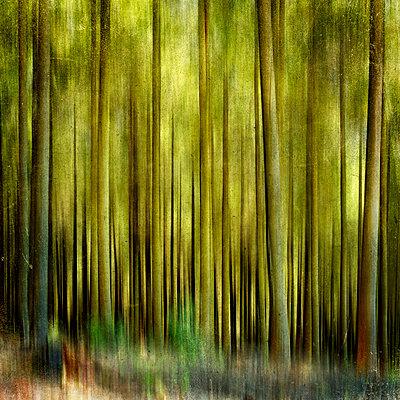 Conifers - p813m755700 by B.Jaubert