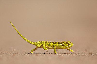 Flap-necked chameleon  , Kruger National Park, South Africa, Africa - p871m1056789f by James Hager