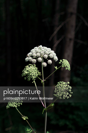 Goutweed on the wayside - p1609m2253817 by Katrin Wolfmeier