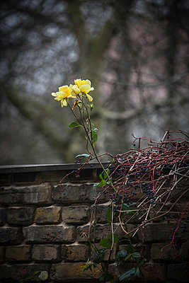 Single rose petals and virginia creeper on an old brick wall - p1579m2193502 by Alexander Ziegler