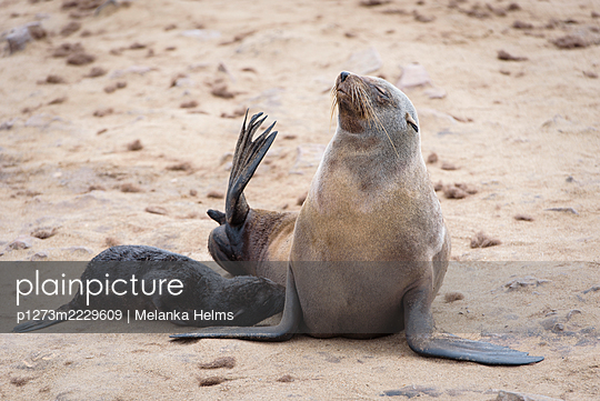 Africa, Namibia, Seals - p1273m2229609 by Melanka Helms