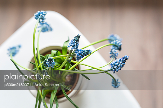 High angle view of potted grape hyacinth - p300m2180071 by Anke Scheibe
