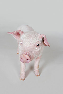 Piglet, studio shot - p3018948f by Paul Hudson