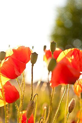 Mohnblumen im Gegenlicht - p533m1474770 von Böhm Monika