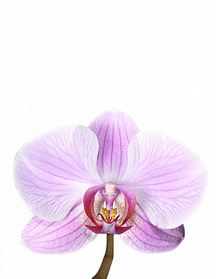 Orchid - p803m2270192 by Thomas Balzer