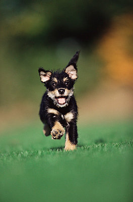 Puppy running on lawn - p92410065f by Image Source