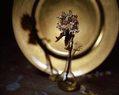 Dried up flower in a vase - p945m1480758 by aurelia frey