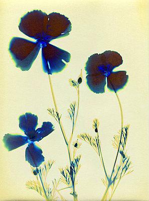 Pressed poppies - p945m2279944 by aurelia frey