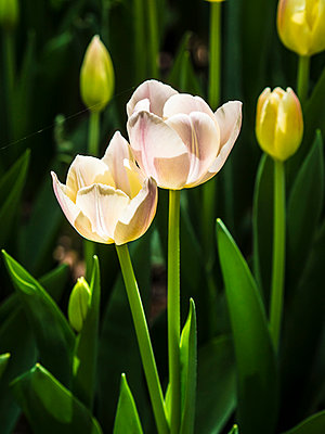 Cream-coloured tulips - p968m892033 by roberto pastrovicchio