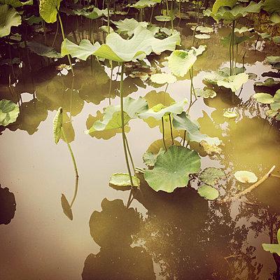 Lotusblume - p979m909991 von Gertz