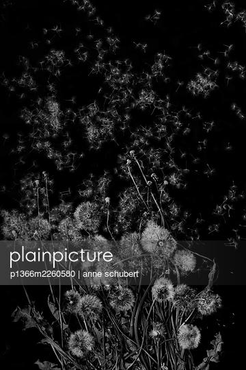 Blowballs, dandelion against black background  - p1366m2260580 by anne schubert