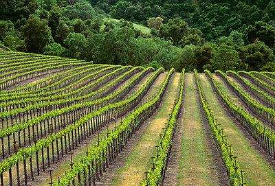 Agriculture - Wine grape vineyard showing early Spring foliage / Monterey County, California, USA. - p442m961308 by David Gubernick