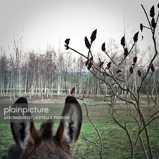 Donkey ears - p1513m2039157 by ESTELLE FENECH