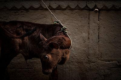 Tied calf - p1007m1144299 by Tilby Vattard