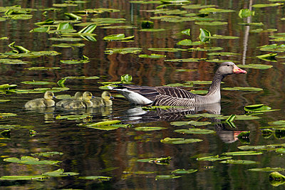 Greylag Goose female with goslings swimming in pond, Germany - p884m1136170 by Duncan Usher