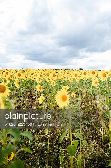 Sunflower field - p1628m2294564 by Lorraine Fitch