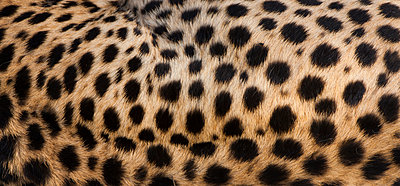 Close-up of cheetah spots on the animal's hide in Serengeti National Park - p1100m888015f by Art Wolfe