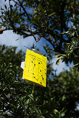 Insect trap hanging in orange tree - p1134m1440778 by Pia Grimbühler