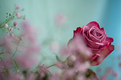 Rose - p427m2098835 by Ralf Mohr