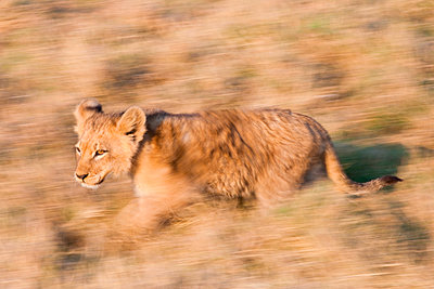 African lion cub - p1100m887754f by Art Wolfe