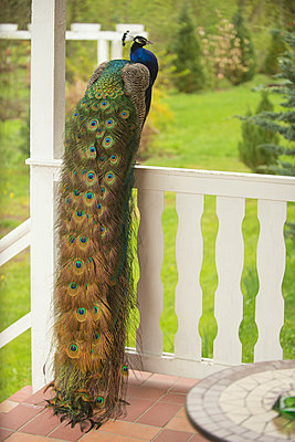 Peacock - p178m946374 by owi