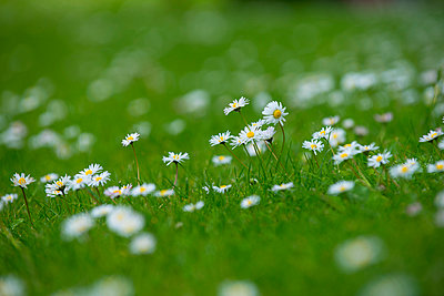 Daisies - p427m1007570 by Ralf Mohr