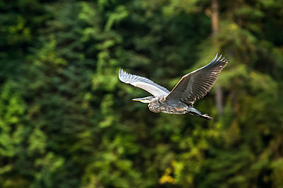 Great Blue Heron (Ardea herodias) in flight, Great Bear Rainforest; Hartley Bay, British Columbia, Canada - p442m2008905 by Robert Postma
