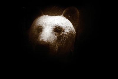 Taxidermied bear - p945m2177761 by aurelia frey