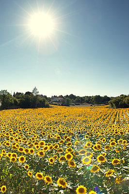 Sunflower field - p1072m2158220 by Neville Mountford-Hoare