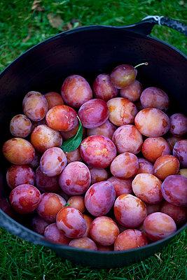 Basket full of freshly harvested plums - p426m920153f by Sonja Dahlgren