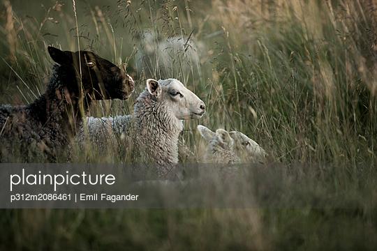 Three sheep lying in meadow - p312m2086461 by Emil Fagander