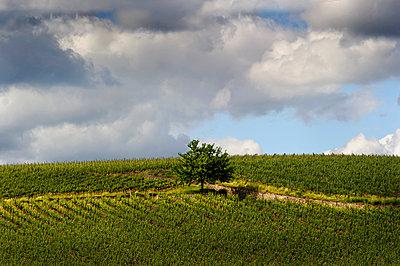 Tree in vine yard - p1088m907874 by Martin Benner