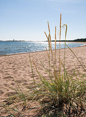Lyme-grass on the beach  - p3226279 by plainpicture