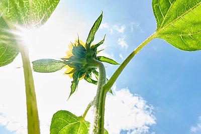 Sonnenblume im Gegenlicht - p851m2289546 von Lohfink
