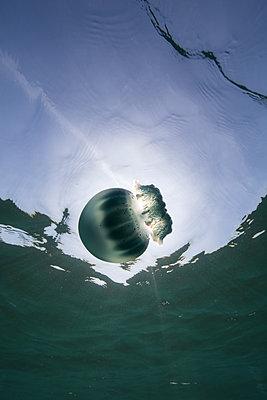 Cannonball jellyfish (Stomolophus meleagris), in ocean, underwater view, La Paz, Baja California Sur, Mexico, North America - p924m1519380 by Rodrigo Friscione