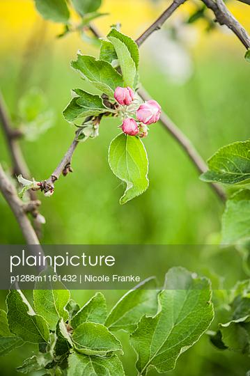 Knospe eines Apfelbaumes - p1288m1161432 von Nicole Franke