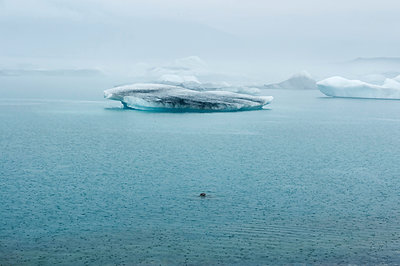 Harbour seal in the Arctic Sea - p470m1190630 by Ingrid Michel