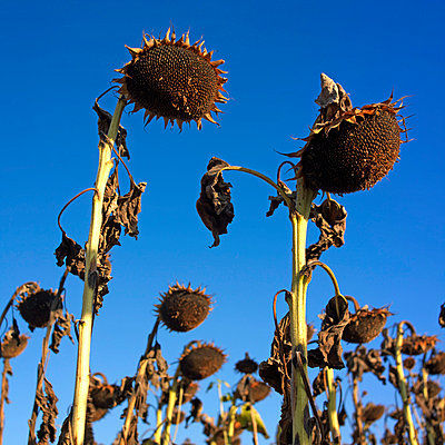Ripe sunflowers - p8130157 by B.Jaubert