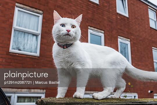 White cat - p1291m2087721 by Marcus Bastel