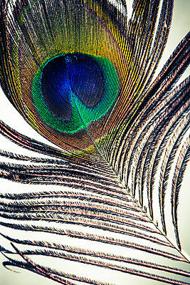 Peacock feather with eye  - p1057m1564469 by Stephen Shepherd