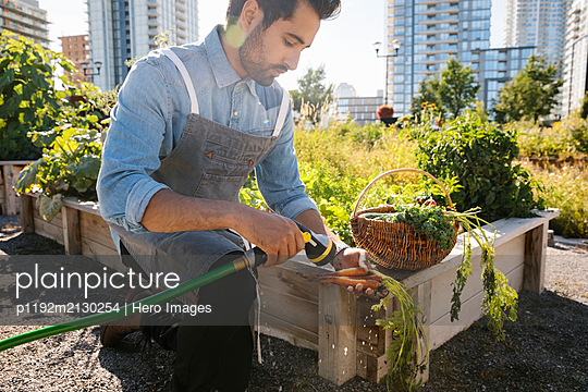 Male chef harvesting and washing fresh carrots in sunny, urban community garden - p1192m2130254 by Hero Images