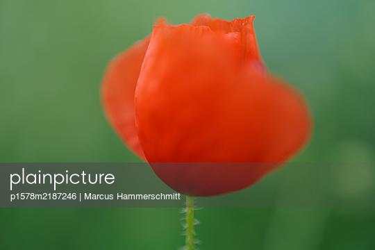 Mohnblume - p1578m2187246 von Marcus Hammerschmitt