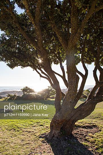 Einzelner Baum Camps Bay - p712m1159990 von Jana Kay