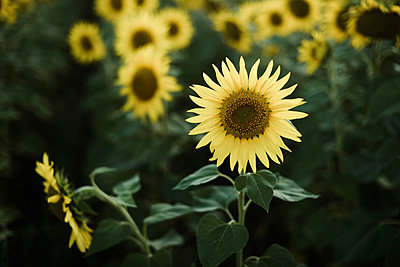 Close-up of sunflower growing outdoors during sunny day - p1166m2095494 by Cavan Images