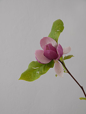 Magnolia - p444m1041358 by Müggenburg