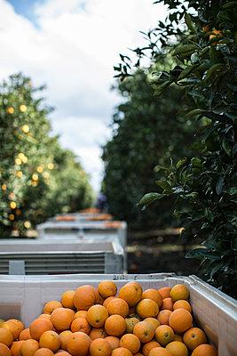 Harvest in orange plantation - p1134m1440773 by Pia Grimbühler