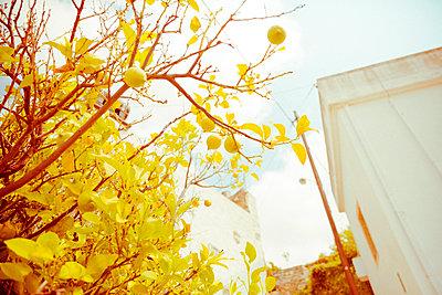 Zitronenbaum von unten  - p432m2020243 von mia takahara