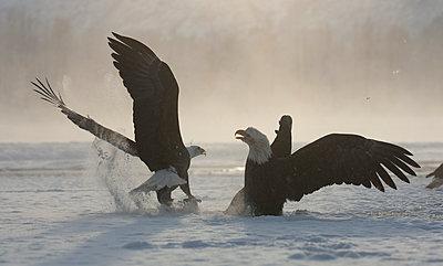 Bald Eagle  pair fighting over food, Chilkat River, Alaska - p884m1130609 by Michael Quinton