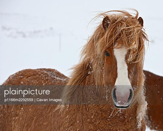 Icelandic horse in the winter - p1166m2292559 by Cavan Images