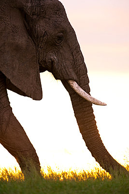 African elephant at sundown - p533m1120356 by Böhm Monika